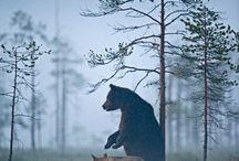 LUPUS der Wolf