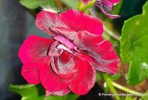 Pelargoniums,Geraniums