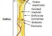 Anatomie,somatologie
