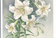 Z    lilie, lily