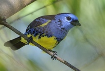 Birds - tangara's