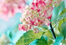 my love for hydrangeas / by AMY LYNN