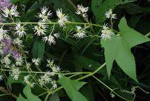 Concombre grimpant - Wild cucumber (Echinocystis lobata)