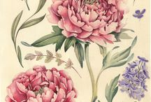 Peonies illustration