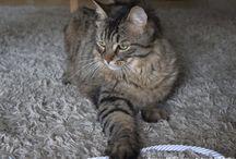 Chats beauté / Quelques clichés des plus beaux chats, notamment le Main Coon.   D'autres clichés à venir.  Copyright Ambrefield Photo A suivre...