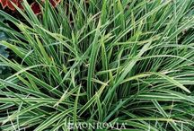 Evergreen Ornamental Grasses
