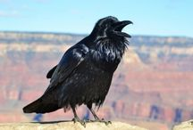 ANIMAL • Raven