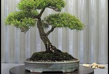 Gardening: Bonsai / by Wayfaring Stranger