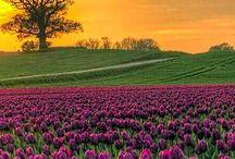 Danmark / Tulipaner.