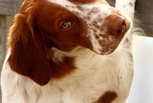Brittany Dogs & others.. / Very beatiful animals!  ::.