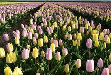 Tulipán virág mezők.