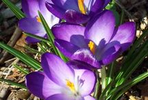 Spring blooming Perennials / Spring blooming perennials