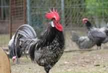 Andalusier Huhn