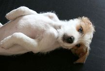 I <3 Jack Russells! / by Toni Collier
