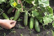 pestujeme kadečo