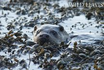 Wild Lewis - A' Mhòinteach Mhòr / Lots of beautiful wild things to be seen around the Isle of Lewis!