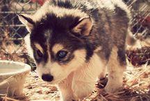 samoyed huskies pomsky