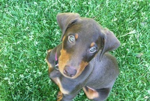 """A Dog's Life / Treats, tricks and delectable for our Doberman """"Cinnamon""""."""