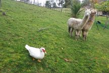 Lizard Creek Alpacas / Our home and animals