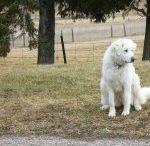 il ressemble de tete a mon chien des pyrénées que j ai eut