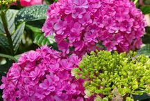 Heartfelt Hydrangeas / Hydrangea plants produce gorgeous 4-inch flower blossoms. These flowers have always served as a representation of heartfelt feelings, whether of joy or sadness.