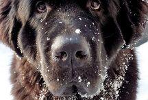 neuflandin koira