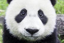 pandabeer