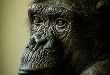 Menschenaffen - Apes - Símios / Monkeys and Menmonkeys