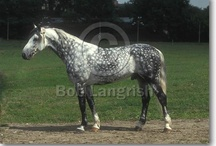Orlov Trotter / country of origin - Russia | average height ca. 160 cm | colours - black, bay/brown, chestnut, grey, sabino pattern | uses - trotter harness racing, general riding