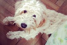 Yetti / Goldendoodle