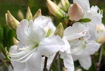 сад цветы рододендроны