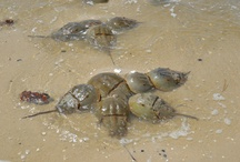 Horseshoe Crab Spawning