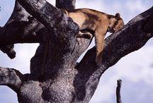National Park - Lake Manyara / Lake Manyara National Park is famous for its tree-climbing lions. Something that rarely happens anywhere else in the world.  http://africatriedandtested.com/destinations/manyara-national-park/