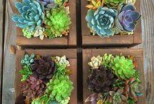socculenten