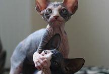 Naked Kitty's  / Sphynx Cats