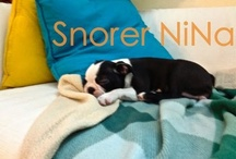 Snorer NiNa - BostonTerrier / Hey folks! Sapiens filmed me while I was having a little #nap! Ridiculous, isn't it?! I'm not sooo noisy... I'm just a little girl who likes dreaming on the sofa :)