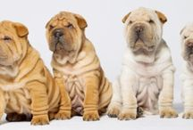 Profily plemien psov / Texty a fotografie podliehajú autorským právam. Všetky práva vyhradené Pes pre život.
