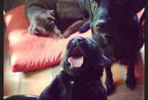 Mis nenas! / Perras - Dogs - Labrador Retriever - Lab
