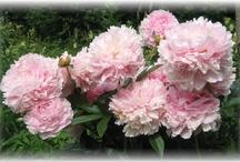 My favourite flowers / beautiful, beautiful!