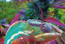 Chameleoni :3