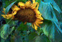 FLOWERS - CAROL  CAVALARIS