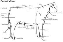 cattle info
