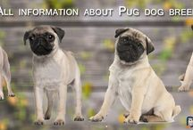 Pug dog / Get all information, photos and tips about Pug dog. This includes history, care, training, health and everything you need to know.