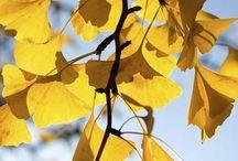 Ginkgo Biloba / A #Ginkgo #biloba egy hosszú életű, lombhullató #fa