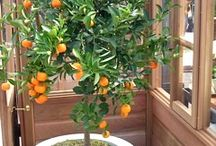 Container gardening / Citrus tree in a tub
