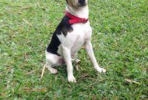 Terrier / Fox paulistinha