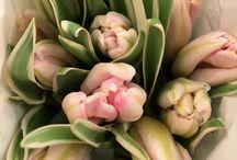 Tulips Season