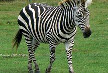 Zebras / black and white :)