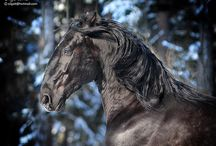 Horses/Roman nosed horses/ kladrubers/ campolina