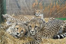 Cheetahs. / The cheetah is known as the largest of the small cats and they can still purr. This vulnerable species is also the fastest of all land animals, its light frame, long limbs and sleek, streamline body, was built for speed rather than endurance, they can reach speeds of 110 km/h.